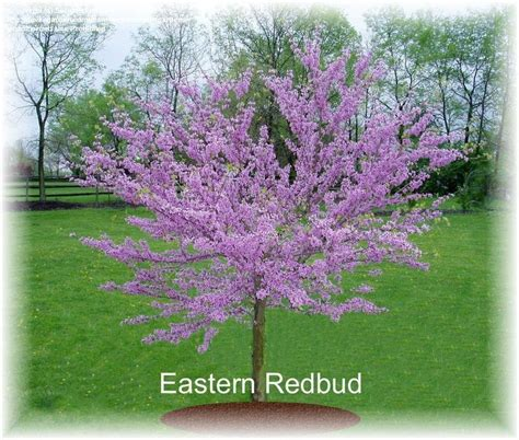 eastern redbud trees plantfiles pictures eastern redbud canadian redbud judas tree cercis canadensis by designart