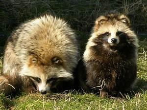 Snailia: Raccoon Dog!