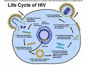 Hiv Virus Life Cycle