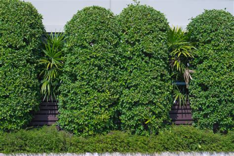 sound barrier shrubs which trees make the best sound barriers porter tree services llc