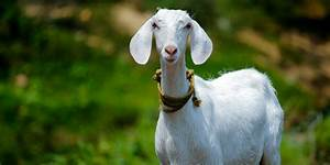 A Goat Just Cost Coal India Rs 2 6 Crore