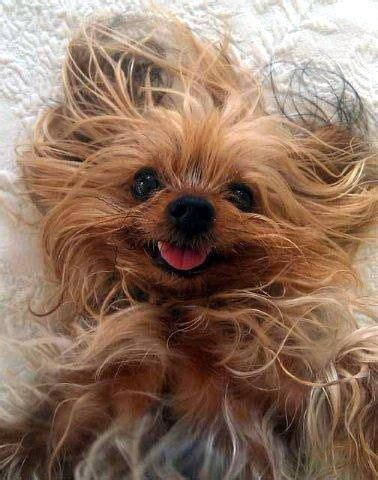bad hair day yorkie dogs yorkie baby dogs