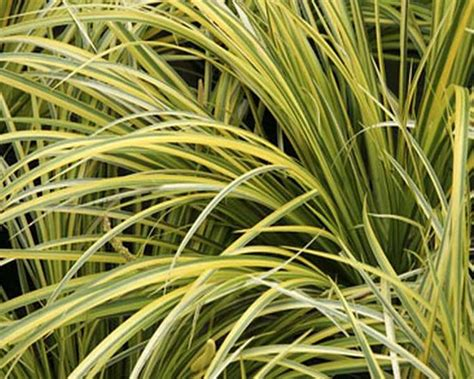 acorus gramineus ogon golden striped rush
