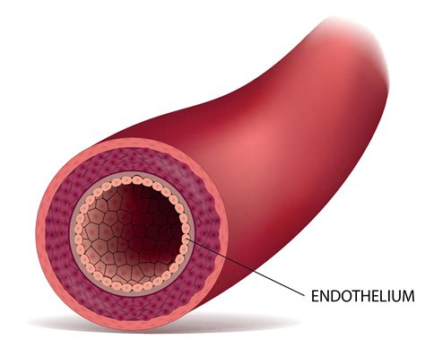 Hma practical 3 for monday july 23 and wednesday july 25. The Endothelium - The Inner Layer of the Blood Vessel - Vazzello