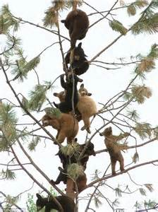Types Of Christmas Trees Uk by Adorable Bear Cubs With A Head Fur Heights Climb Up A Tree