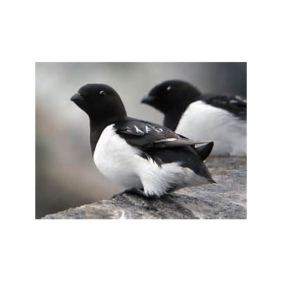 Spitzbergen - ShortwingShortwing