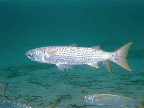 mugil cephalus mullet fish mugilidae fishing minorca