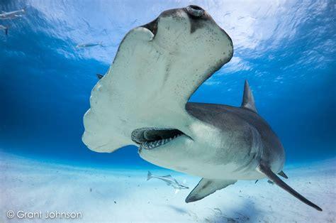 bimini scuba center book  hammerhead shark safari