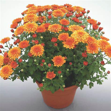 how to plant mums pot mum chrysanthemum morifolium my garden life