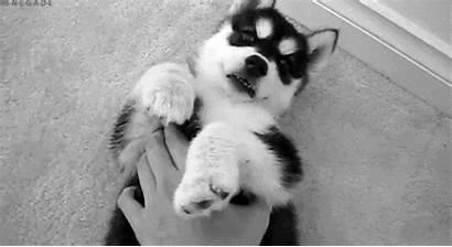 Husky Dog Puppy Gifs Huskies Infinite Pets