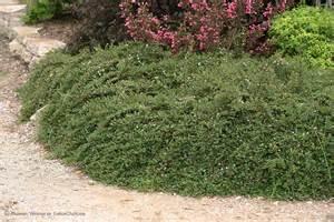 Perennial Garden Zone 5 by Little Dipper 174 Cotoneaster Procumbens Proven Winners