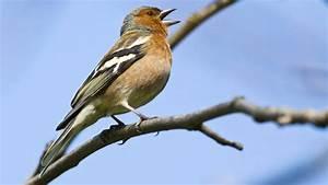 Heimische Singvögel Bilder : buchfink gesang und stimme des singvogels ~ Whattoseeinmadrid.com Haus und Dekorationen