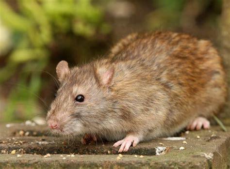 Ratten Vertreiben Und Vorbeugen Tipps  Schädlinge Garten