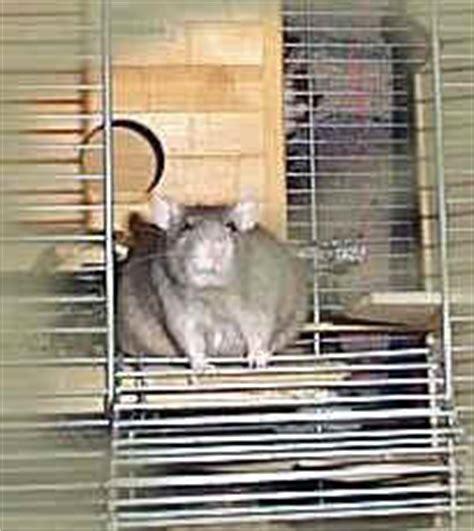 hausmittel gegen ratten hausmittel gegen ratten granitplatte terrasse