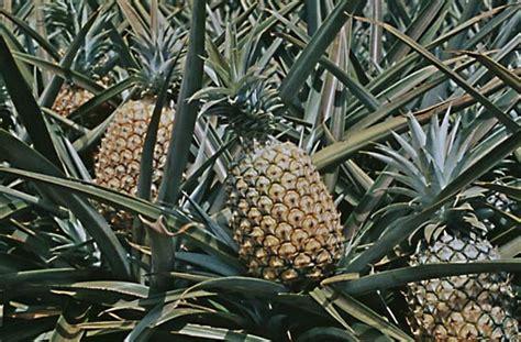 Pineapple | plant | Britannica.com