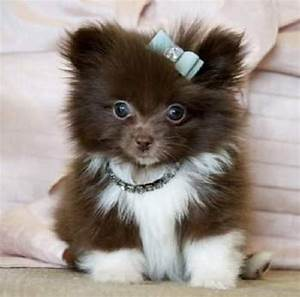 teacup pomeranian puppies for sale australia | Zoe Fans ...