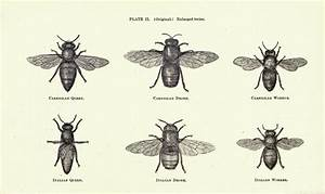 Vintage bee illustration | Bee | Pinterest | Honey bees ...