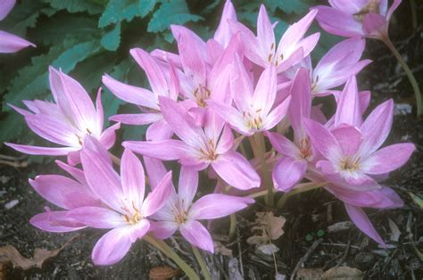 late summer and fall blooming bulbs news