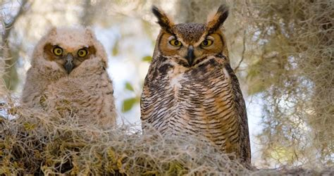 Great Horned Owl Sounds, All About Birds, Cornell Lab Of