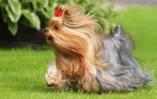 Cute Yorkshire Terrier Haircut