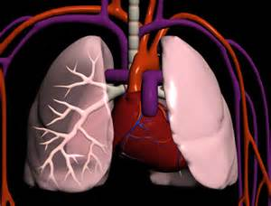 Human Heart and Lung 3D Model