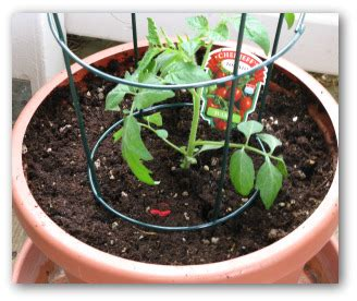 planting tomato plants  containers  backyard gardens