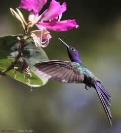 Birds Swallow Tail Hummingbird