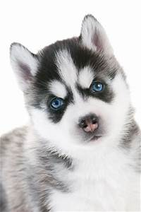 Baby husky puppy with striking icy blue eyes - Siberian ...