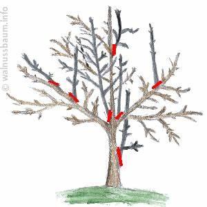 Alten Walnussbaum Schneiden : walnussbaum schneiden ~ Lizthompson.info Haus und Dekorationen