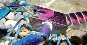 New 'Galaxy' Crayfish Discovered In Indonesia Has A Nebula ...
