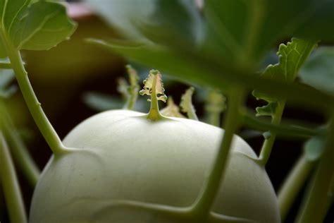 kohlrabi pflanzen kaufen kohlrabi pflanzen kohlrabi im eigenen garten anbauen plantura