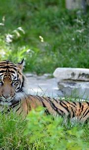 Tiger: Can I help you?   Smithsonian Photo Contest ...