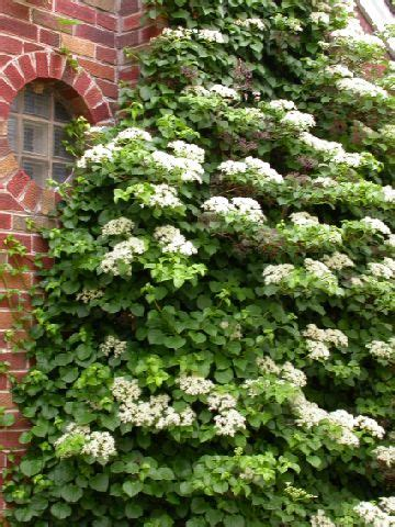 Climbing Hydrangea  What's Not To Like