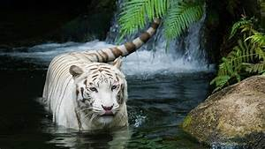 HD Wallpapers 1080P | HD Wallpapers White Tiger Wallpaper ...