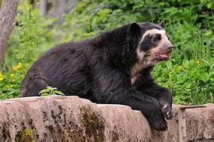 Bear Facts - Species - Spectacled Bear