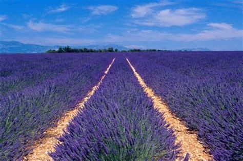 lavender care and maintenance lavender oil information on lavender oil