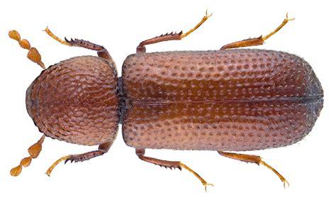 Rhizopertha dominica