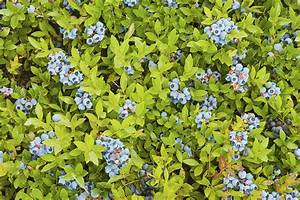 Ripe Maine Low Bush Wild Blueberries Photograph by Keith ...