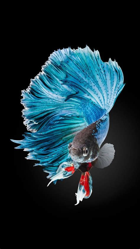 Animal Wallpapers For Iphone - betta fish wallpaper iphone 6 and iphone 6s hd animal