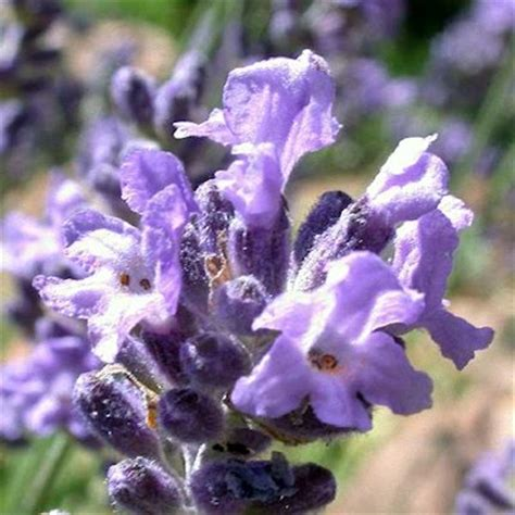 lavender insect repellent plants 8 mosquito repellent plants mother s home