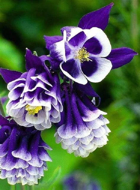 purple aquilegia beautiful dark purple columbine floral garden pinterest
