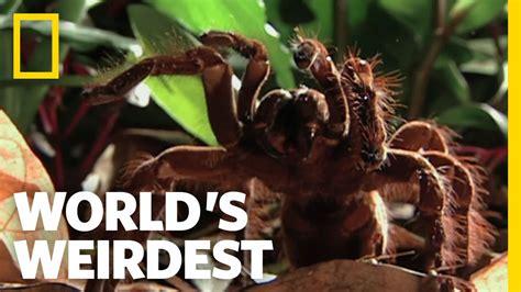 worlds biggest spider worlds weirdest documentary box
