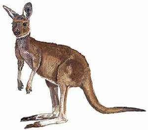 How to Draw a Kangaroo - Draw Step by Step