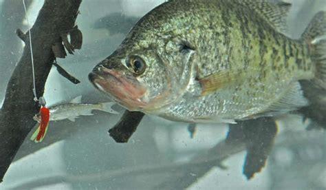 fishing  big crappie  goldfish outdoorhub