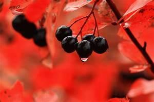 Лечение гипертонии черноплодной рябиной