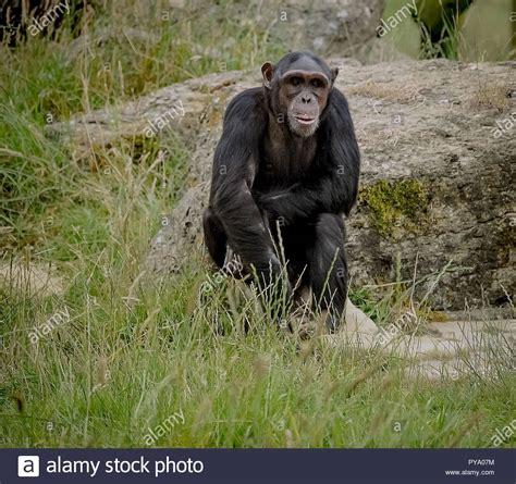 chimpanzee smiling stock chimpanzee smiling stock alamy