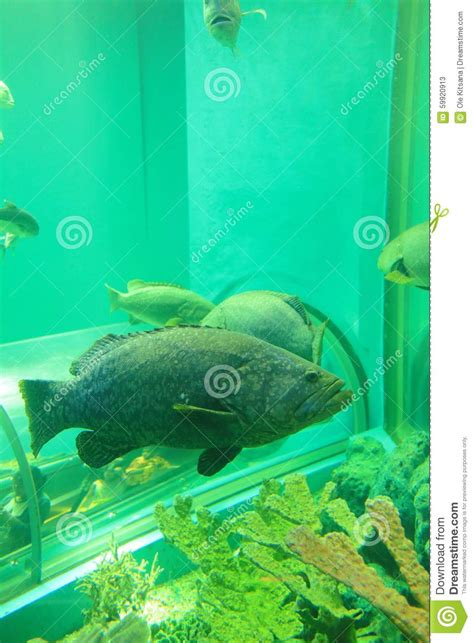 grouper queensland bony largest fish found