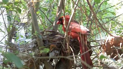 cardinal nest sneak footage of birds arkansas 2013 may