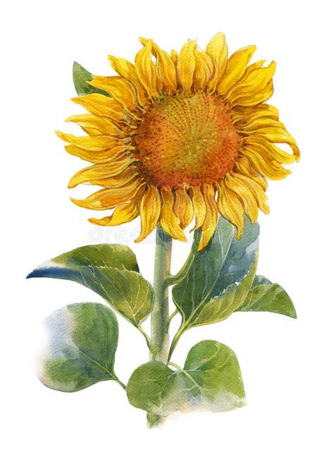 watercolor illustration painting  yellow flower
