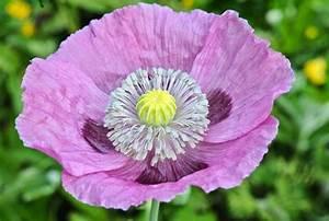 Flower Homes: Opium Poppy Flowers